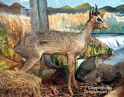 Dik Dik Taxidermy by Reimond Grignon