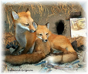 fox pups Taxidermy by Reimond Grignon