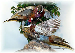 Fighting Pheasants Taxidermy by Reimond Grignon