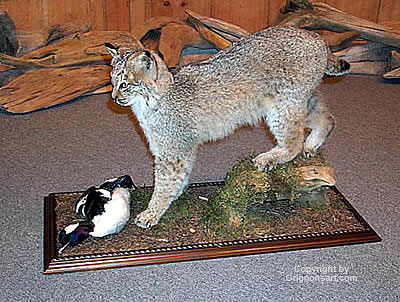 standing bobcat Taxidermy by Reimond Grignon