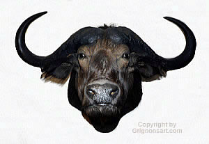 cape buffalo Taxidermy by Reimond Grignon