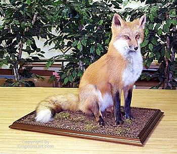 red fox Taxidermy by Reimond Grignon