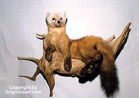 pine martin Taxidermy by Reimond Grignon