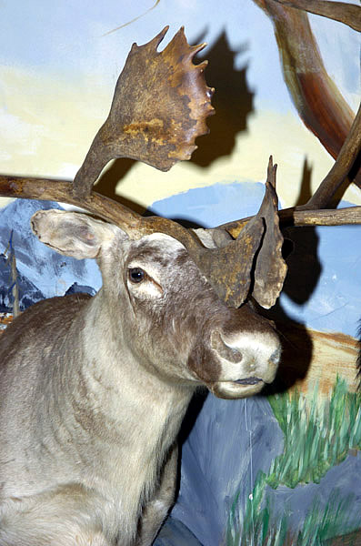 caribou mount for sale