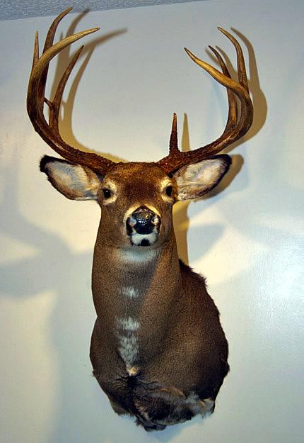 Wildlife Head Mounts For Sale