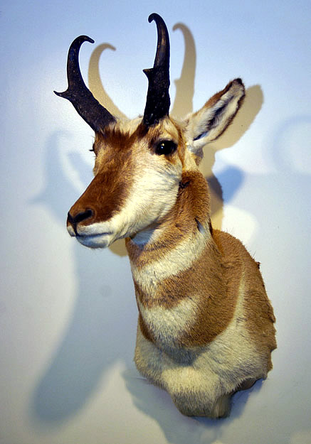 antelope shoulder mount for sale